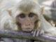 libya-monkey